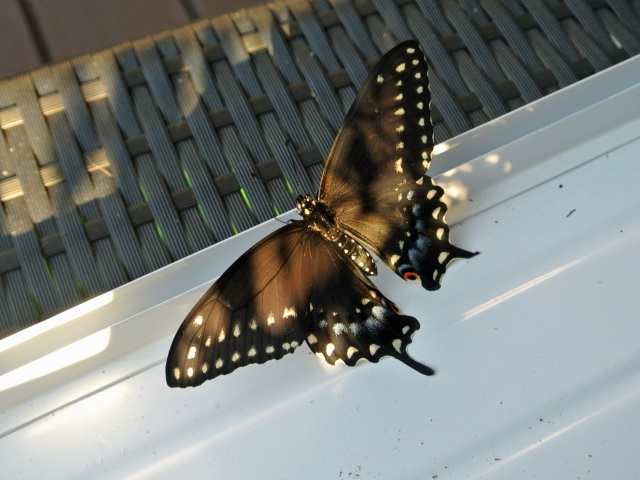 butterfly-outside